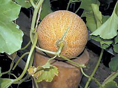 выращивание дынь